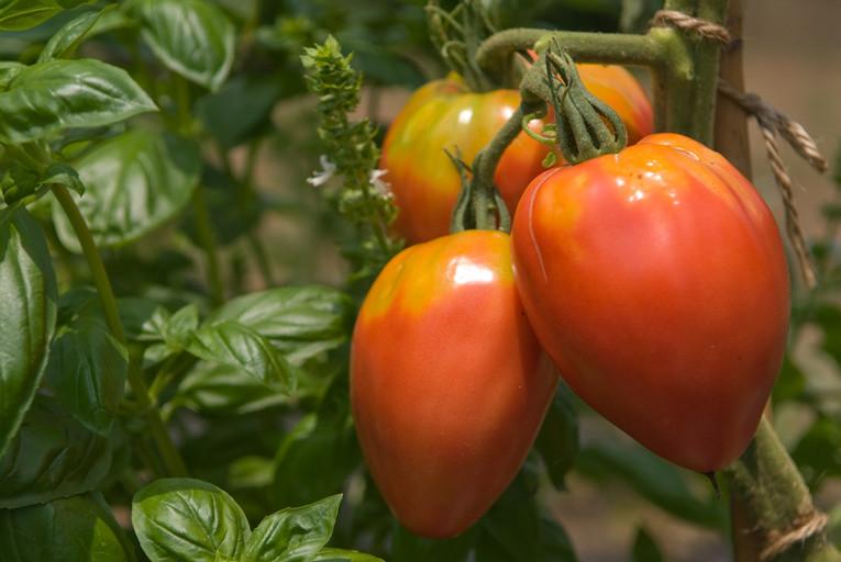 トマト/クール・ド・ブフ(牛の心臓という意味。大きなものは500gを超える)