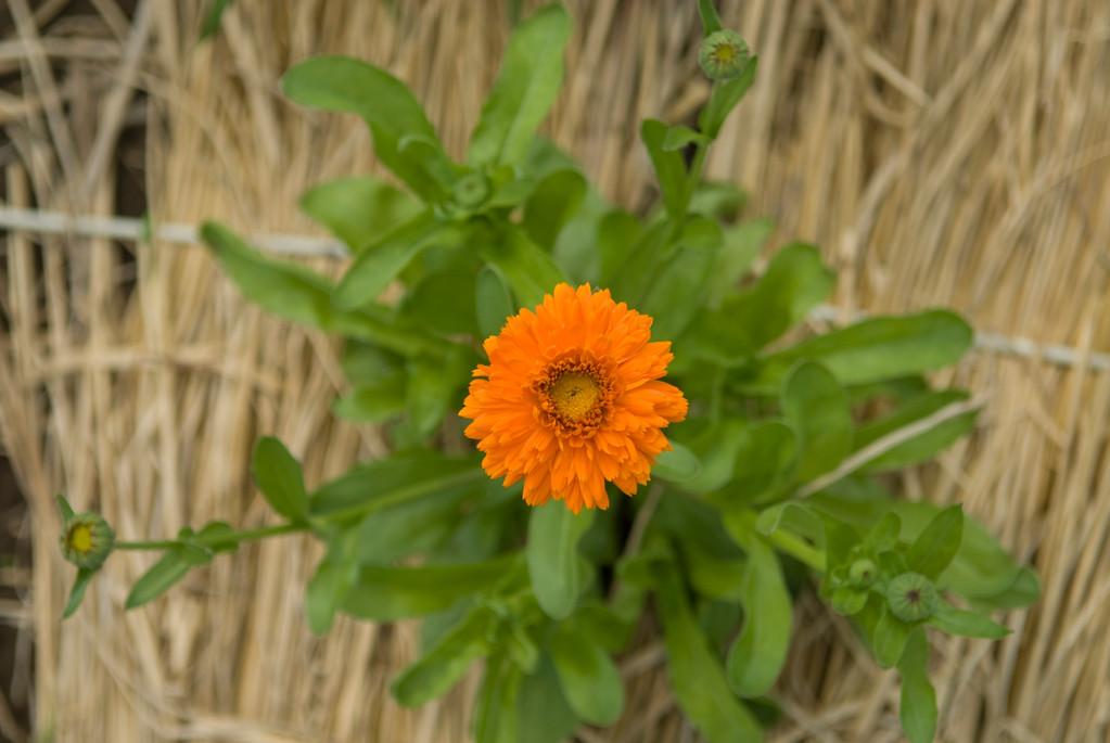 ハーブ食用花「カレンデュラ」