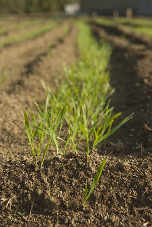 小麦の成長途中