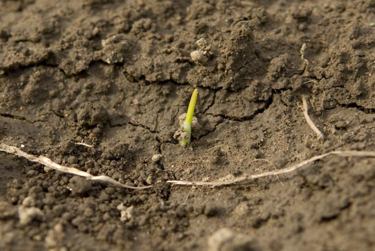小麦の発芽