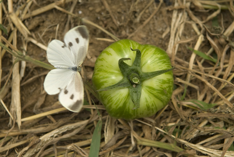 トマト/グリーン・ゼブラ(モンシロチョウも大好き?)