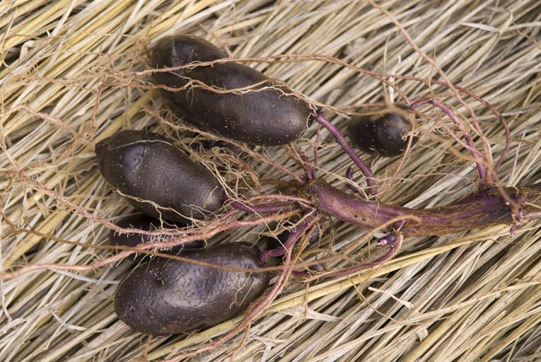 紫ジャガイモ/シャドークイーン