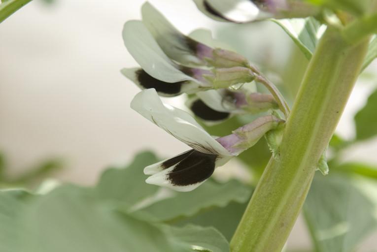 スペイン空豆「アグアドゥルセ」の花