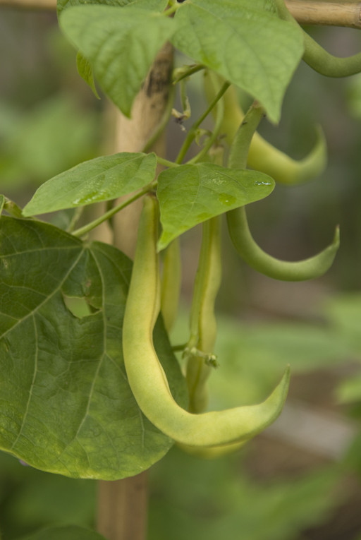 インゲン豆/イエローリング