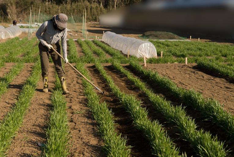 除草を兼ねた土寄せ