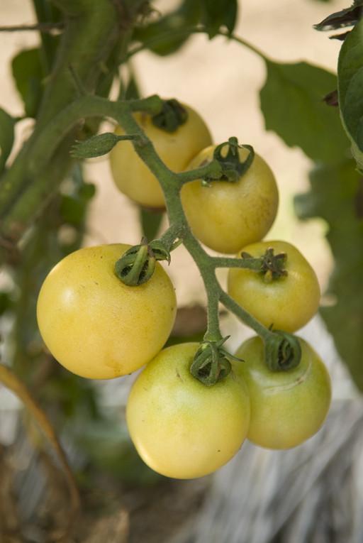 トマト/スーパー・スノー・ボール