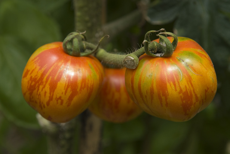 トマト/レッド・ゼブラ