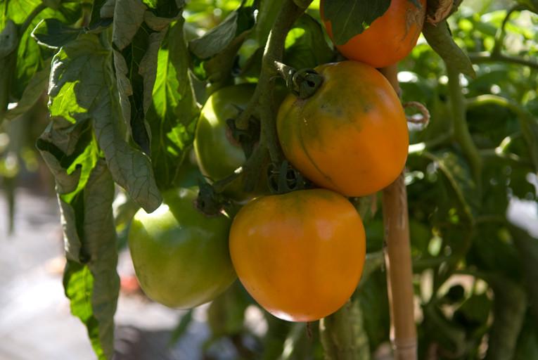 トマト/ヴェレンシア(オレンジ色のにくい奴?)