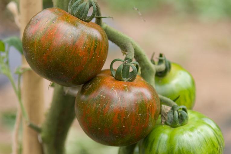 トマト/ブラックゼブラ