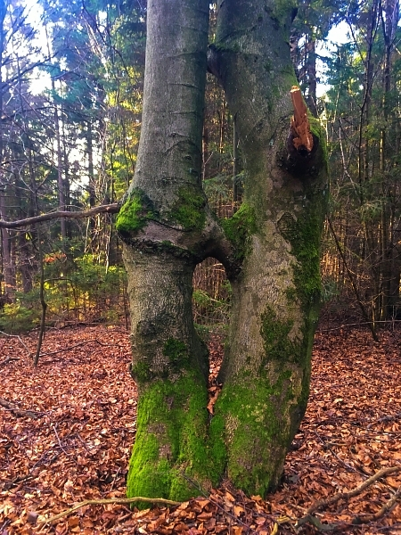 Kissing Trees bei Heuzert