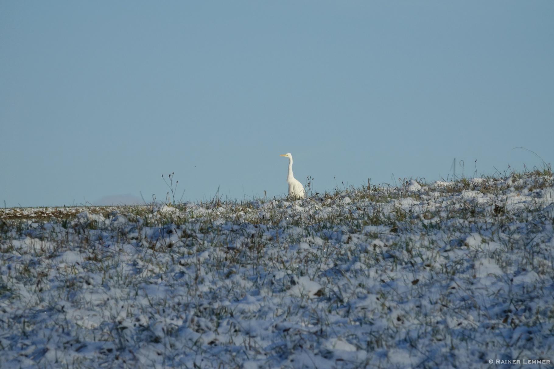 Silberreiher im Schnee