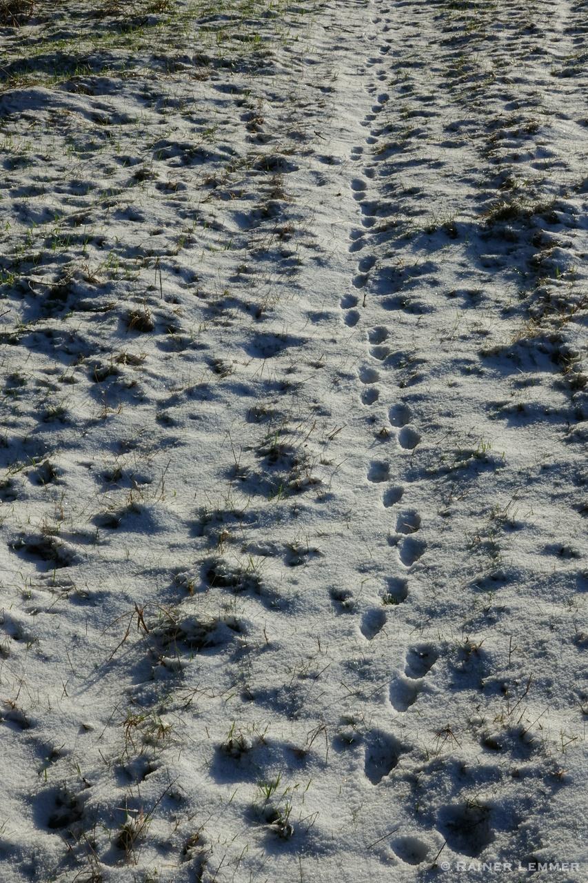 Fuchsspuren im Schnee