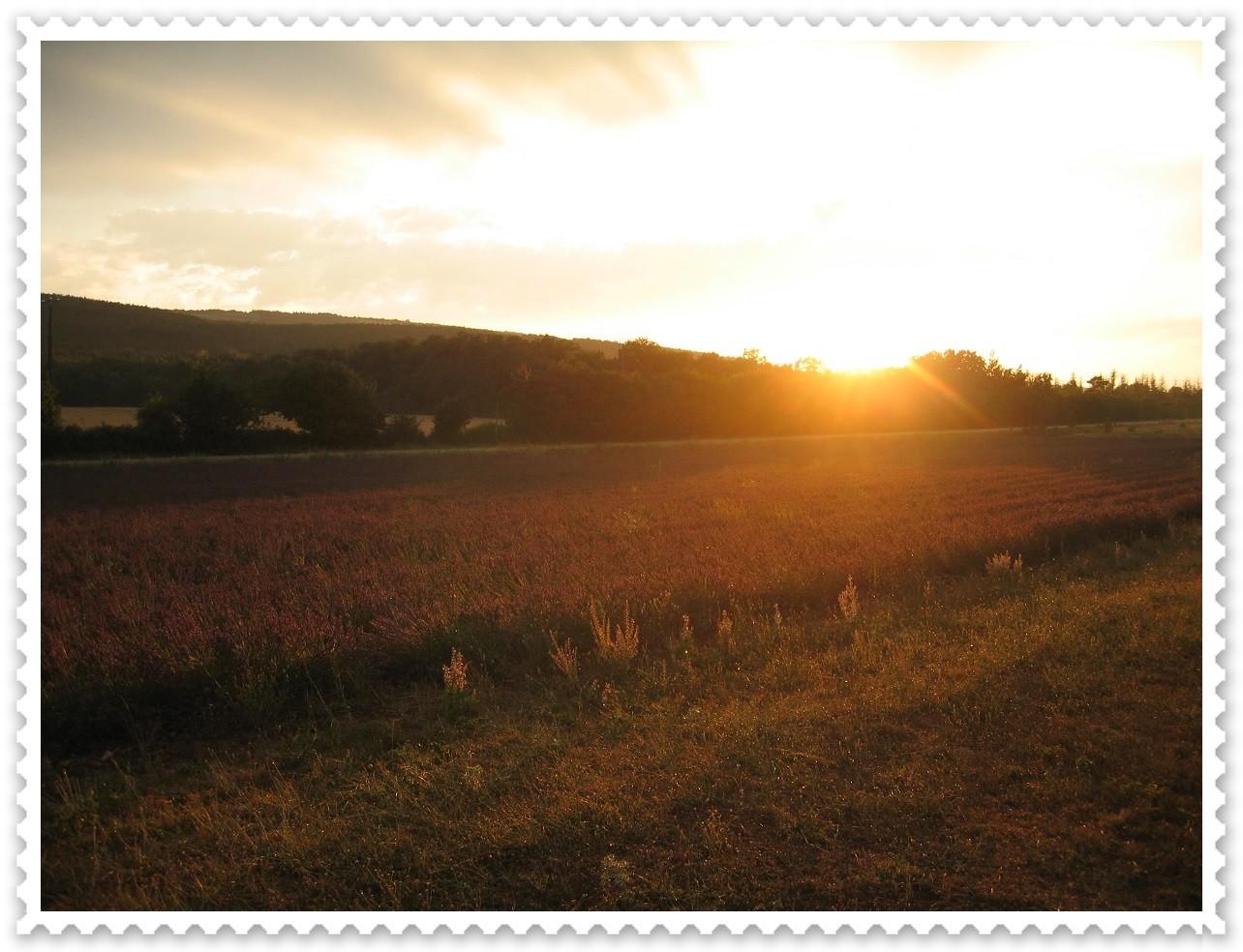 Sonnenuntergang über einem Lavandin-Feld