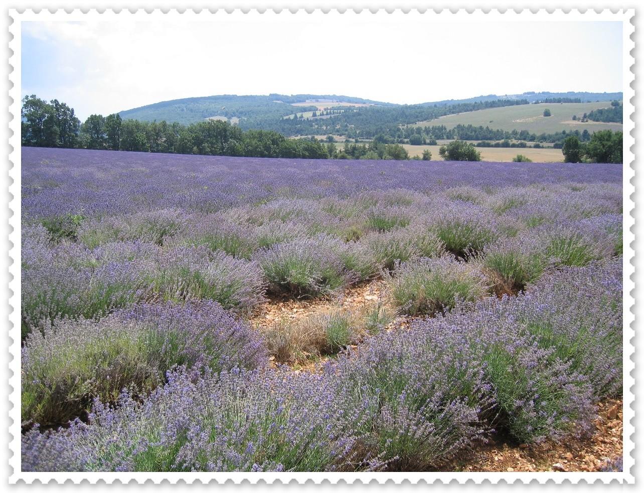 Lavandin (hinten) und Lavendel (vorne) im Vergleich