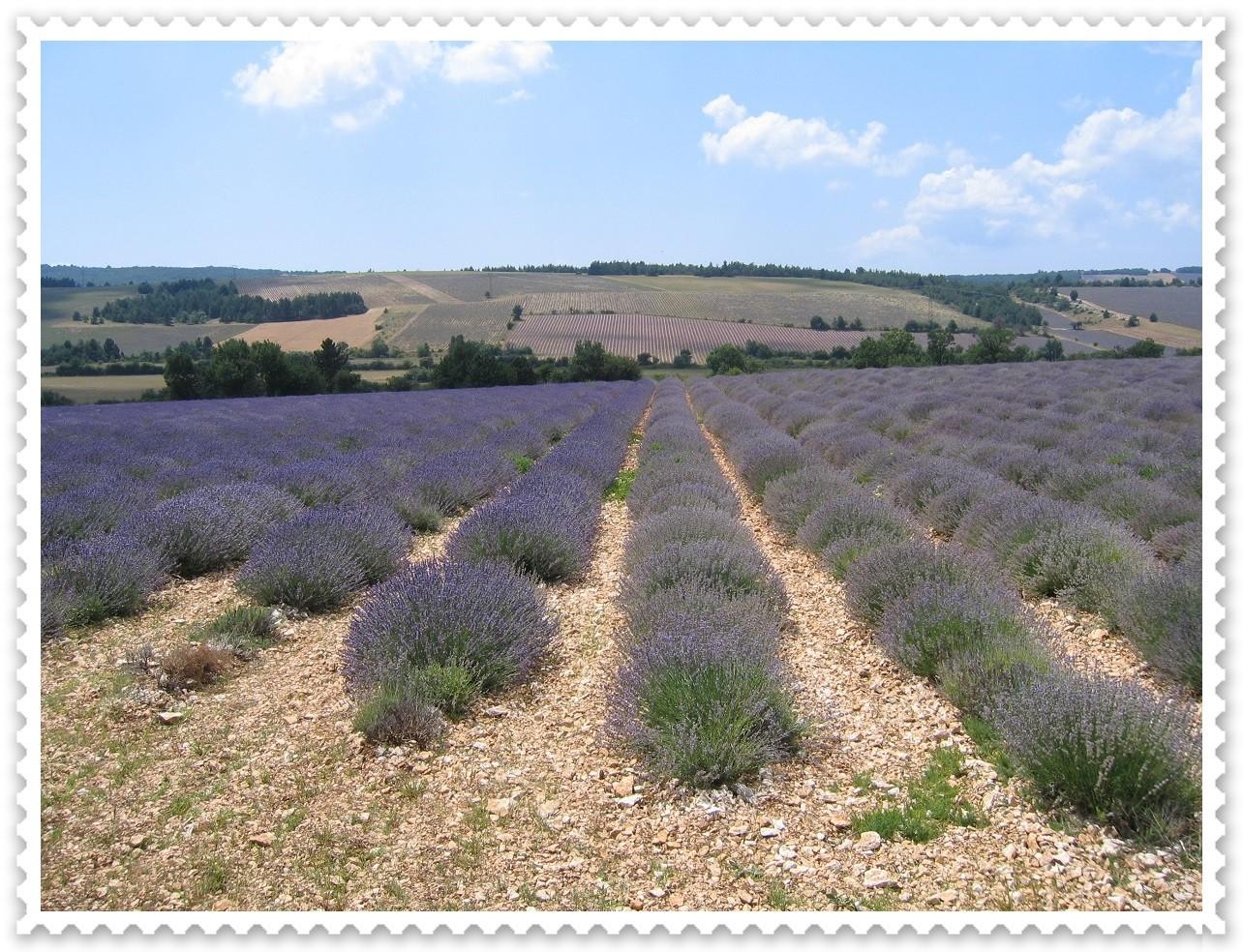 Lavandin (links) und Lavendel (rechts) im Vergleich