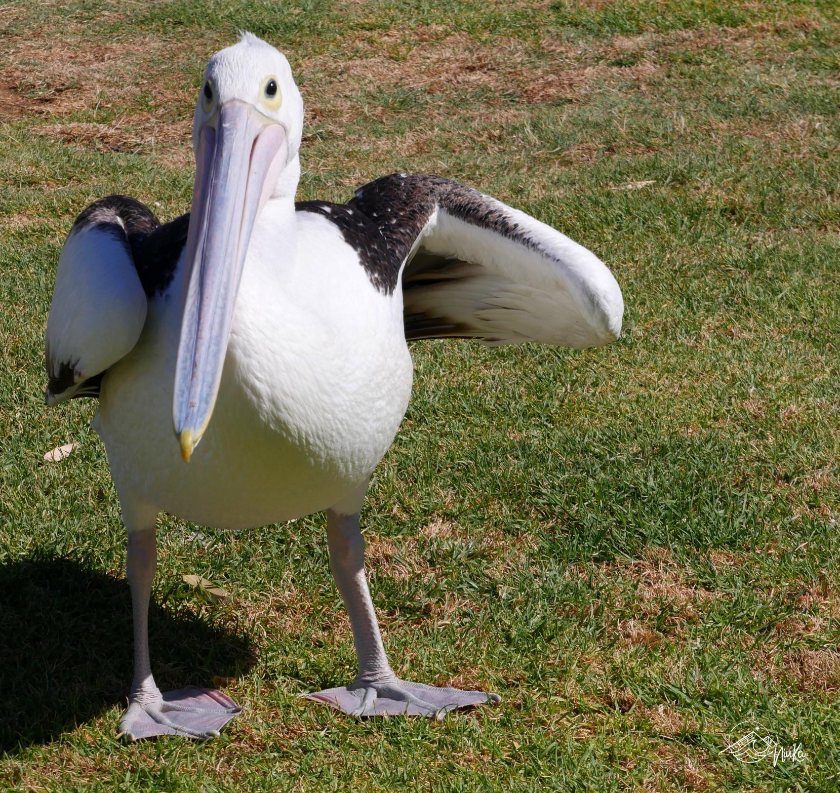 Pelikanfütterung in Kalbarri