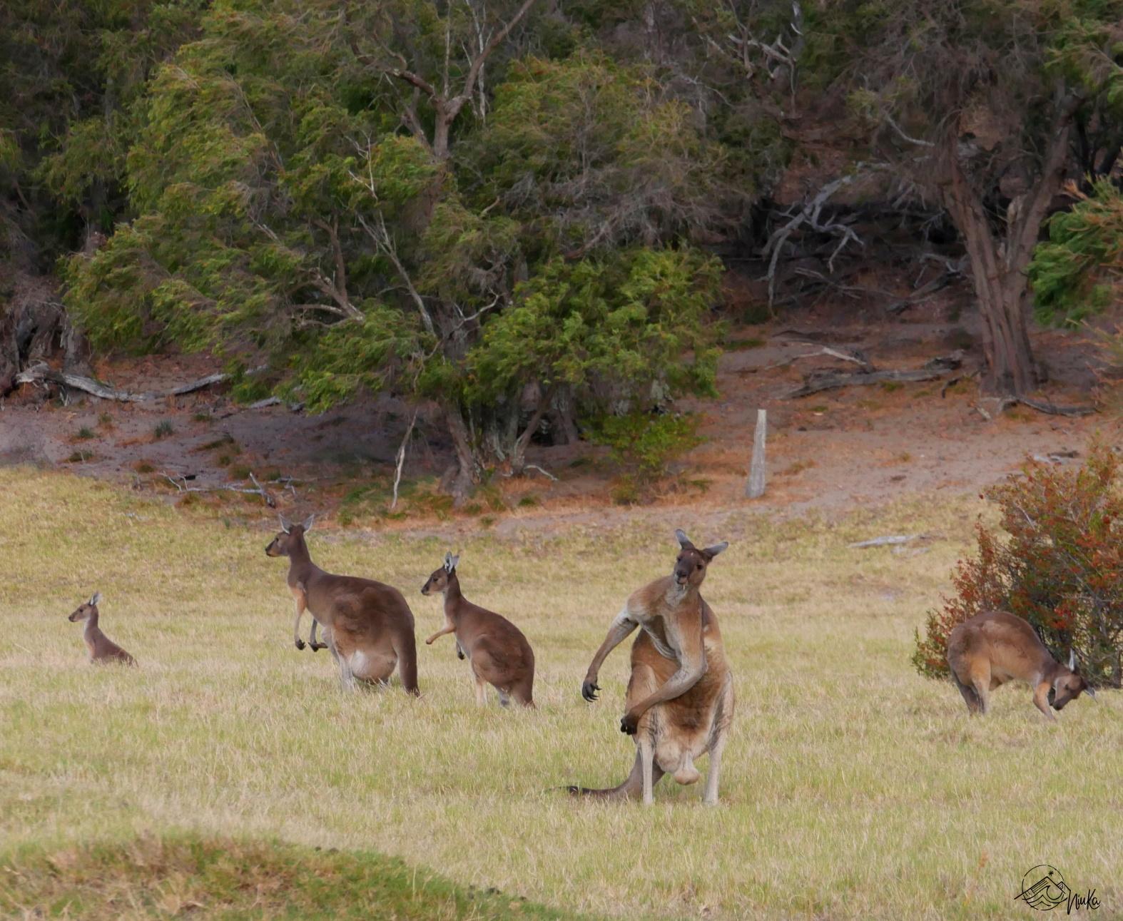 Kängurus in Australind