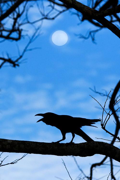 Corbeau Indien - Nagarahole National Park (Kabini)