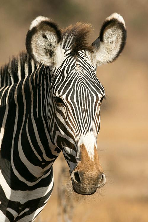 Samburu: Zèbre de Grévy