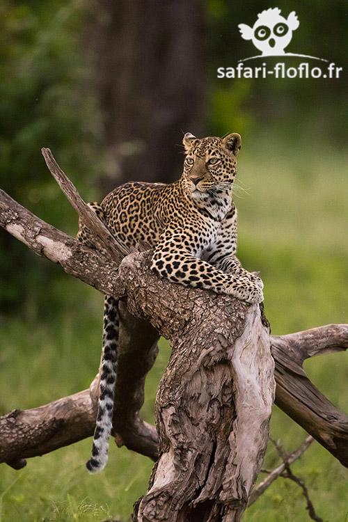 Léopard (Kenya)