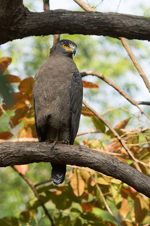 Serpentaire Bacha - Tadoba Andhari Tiger Reserve