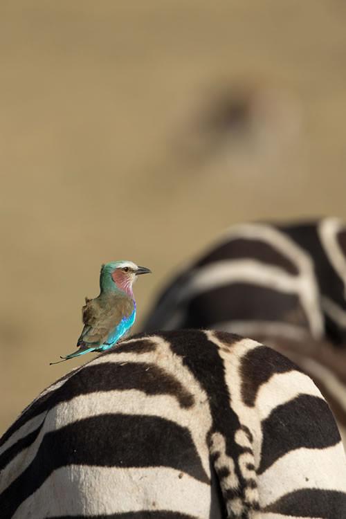 Rollier à long brins sur cul de zèbre (Masai Mara, Kenya)