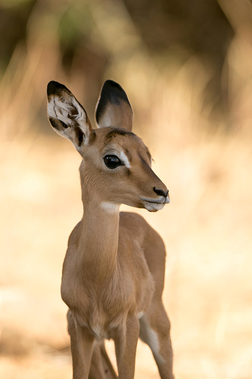 Samburu: Impala