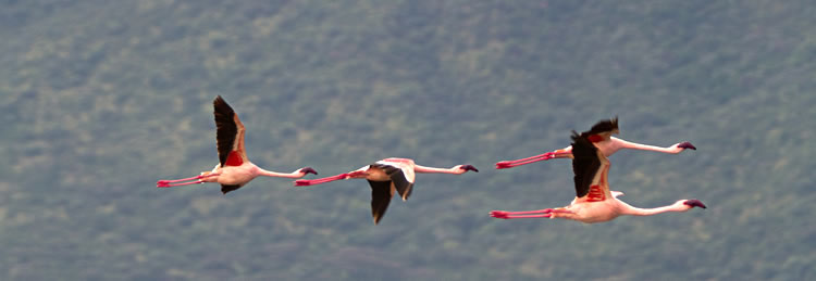 Lac Bogoria - Flamants Rose