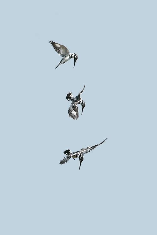 Montage de vol stationnaire de Martin pêcheur pie