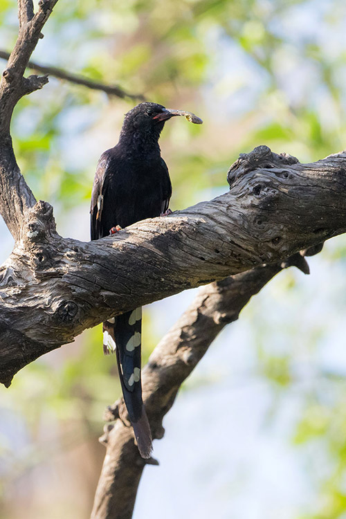 Awash Falls - Irisor à bec noir