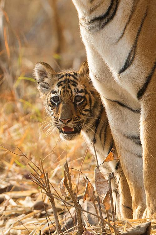 Maya et un des 2 bébés  (2 mois et demi) - Tadoba Andhari Tiger Reserve