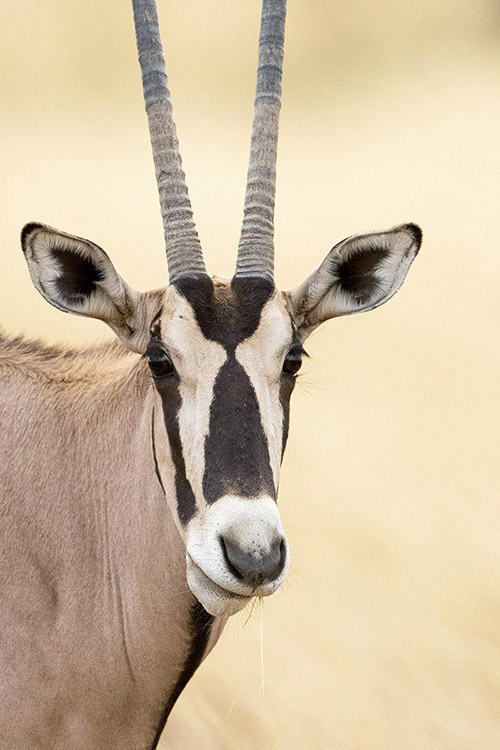 Awash National Park - Oryx