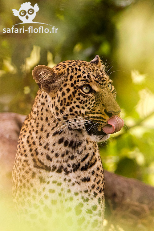Femelle léopard (Kabosso)