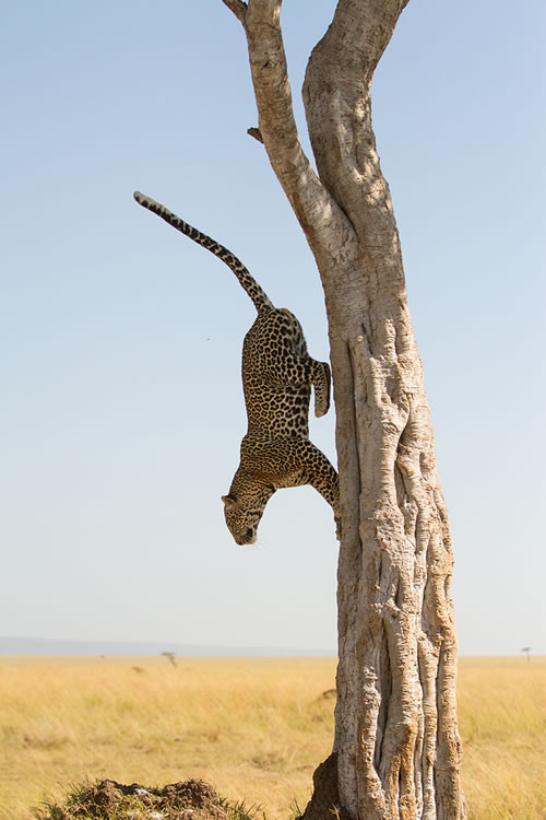 Léopard male (Masai Mara, Kenya)