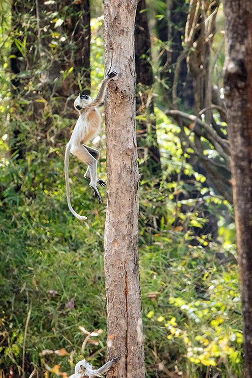 Langur - Tadoba Andhari Tiger Reserve