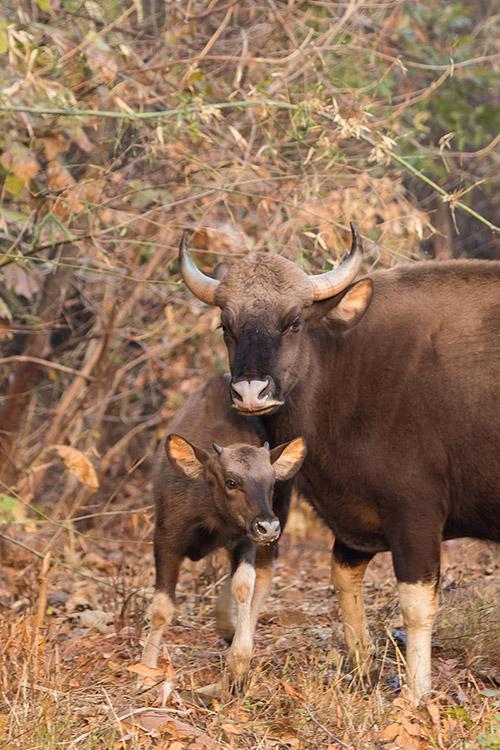 Gaurs - Tadoba Andhari Tiger Reserve
