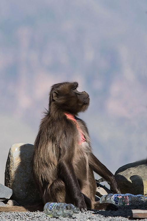 Debre Libanos - Babouin Gelada femelle