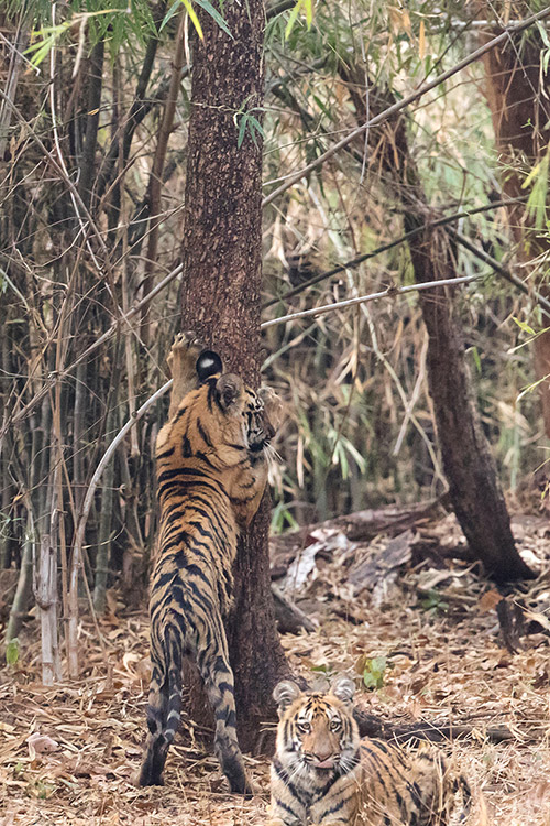 Jeune tigre de 5 mois et demi (jeunes de Sonam) - Tadoba Andhari Tiger Reserve