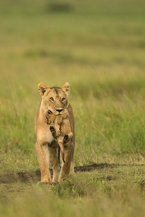 Lionne portant son bébé (Kenya)