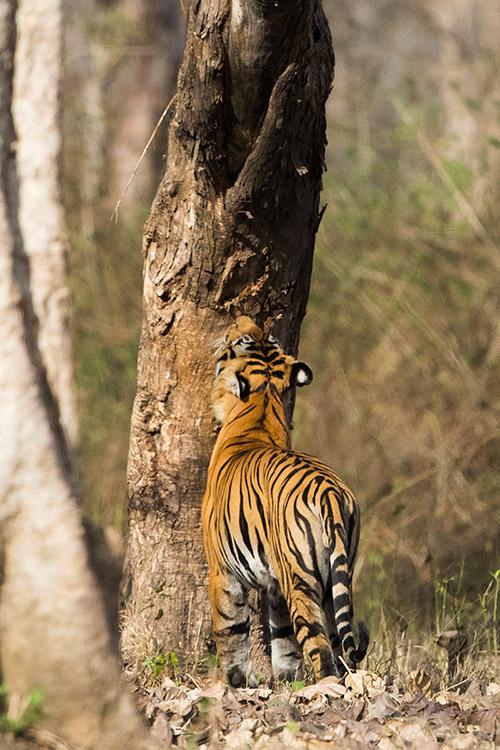 Tigre mâle - Nagarahole National Park (Kabini)