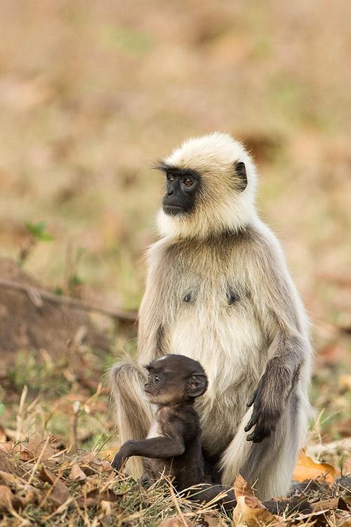 Langurs - Nagarahole National Park (Kabini)