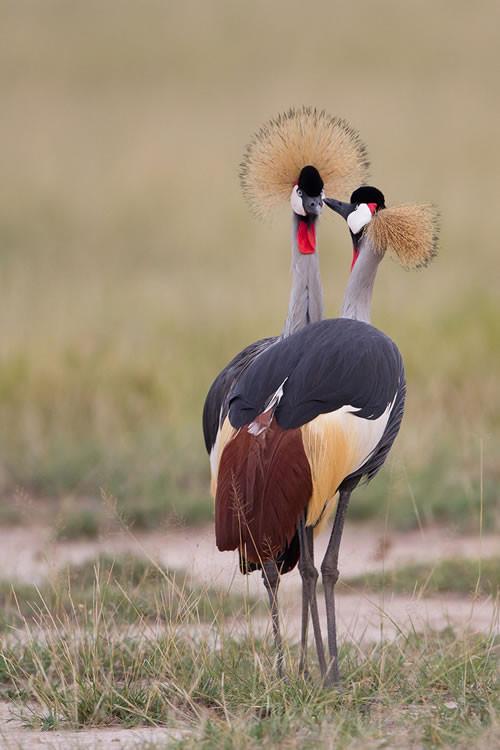 Parade nuptiale de grues royales (Amboseli - Kenya)