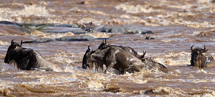 Maasai Mara - Crossing de gnous