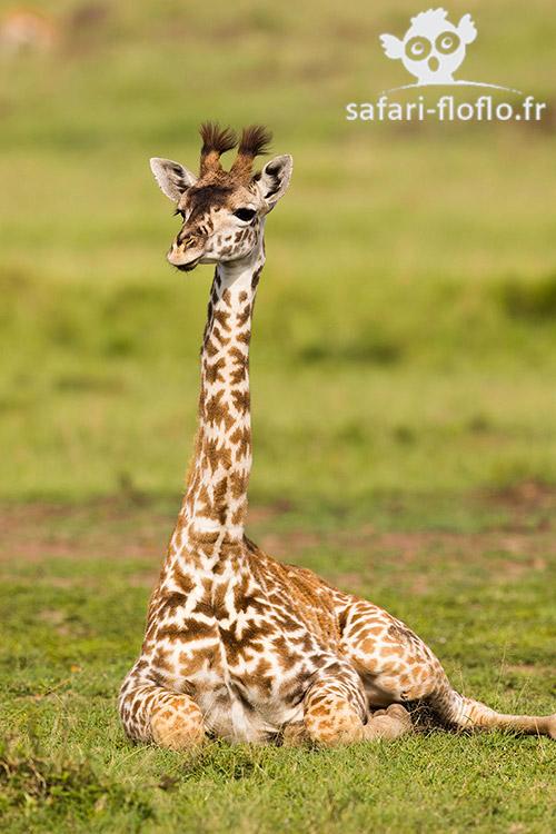 Girafon Masai