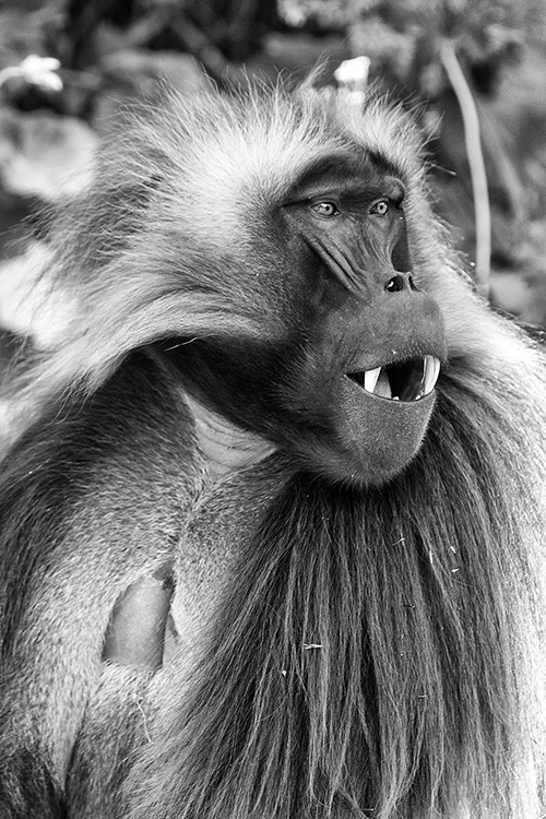 Debre Libanos - Babouin Gelada mâle