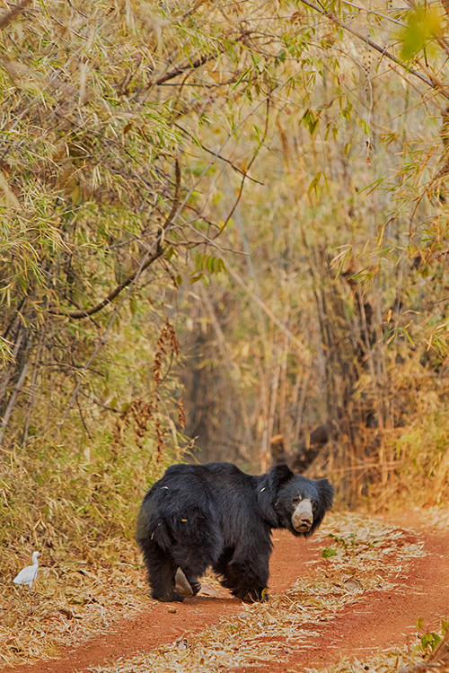 Ours Lippu mâle - Tadoba Andhari Tiger Reserve