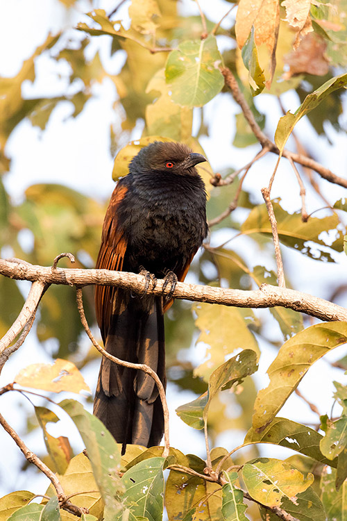 Coucal ? - Tadoba Andhari Tiger Reserve