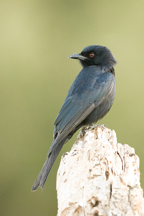 Samburu : Drongo Brillant