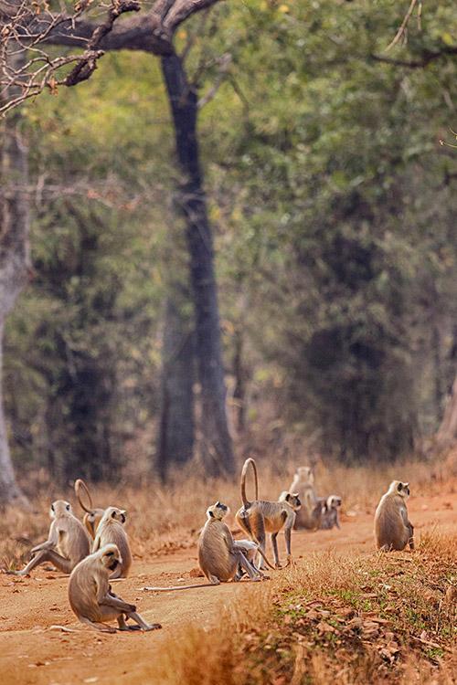 Langurs - Tadoba Andhari Tiger Reserve