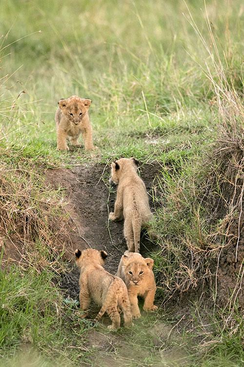 Maasai Mara: Lionceaux de 4 à 5 semaines